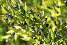 Mirto comune  Il mirto (Myrtus) è un genere di 2 specie di arbusti della macchia mediterranea. Il mirto viene coltivato soprattutto per le sue foglie molto aromatiche e per i suoi fiorellini bianchi profumati. Il mirto è una pianta per il clima mediterraneo molto apprezzata poiché porta i delicati fiori dalla primavera all'autunno. Sono ottimi arbusti che si prestano per formare bordure miste in posizioni soleggiate. Nei climi più rigidi è necessario coltivarle contro un muro esposto a sud…