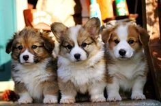 Corgi puppies!