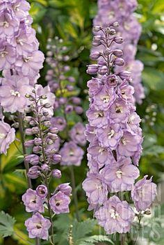 delphinium lilac - Google Search