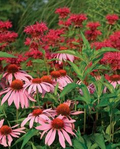 Red bee balm ( Monarda cv., Zones 4–9) and pink coneflower ( Echinacea purpurea cv., Zones 3–9). From Fine Gardening