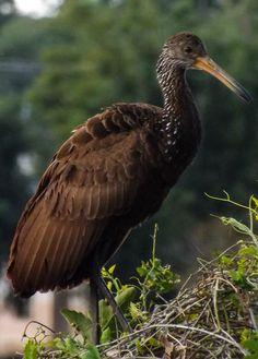carão (Aramus guarauna) por Giovane Alves Lima   Wiki Aves - A Enciclopédia das Aves do Brasil