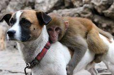 Mais les animaux ont également besoin d'une figure paternelle : la preuve avec ce chien et son bébé singe