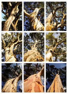 Australian Gum Tree montage, via my Flickr.  FalconWriting.com.au  Cliff Howard