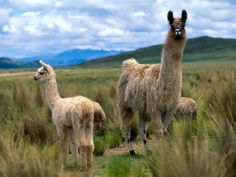 Pictures of llamas - Find and save ideas about Llama pictures on Pinterest.   See more about Funny llama, Pictures of llamas and Pics of llamas.