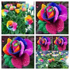 Rare Rainbow Rose Seeds