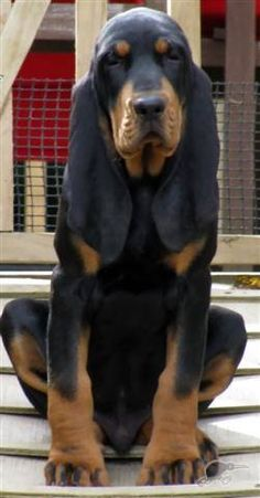 Black and Tan Coonhound. Look at those ears! Love me some hound dogs! Cute Puppies, Cute Dogs, Dogs And Puppies, Bloodhound Puppies, Labrador Puppies, Retriever Puppies, Corgi Puppies, Beautiful Dogs, Animals Beautiful