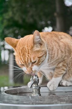 Orange tabby cat - drinking from water fountain