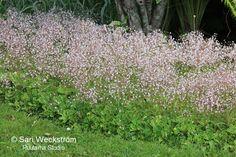 Parhaat talvivihreät perennat - Sarin puutarhat