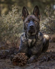 Wicked Training Your German Shepherd Dog Ideas. Mind Blowing Training Your German Shepherd Dog Ideas. German Shepherd Facts, German Shepherd Pictures, Black Sable German Shepherd, Sable German Shepherd Puppies, Black German Shepherds, Dutch Shepherd Dog, Belgian Malinois Dog, Military Dogs, German Shorthaired Pointer
