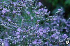 Limonium latifolium - Zeelavendel / lamsoor / statice in de Digituin. Blue Garden, Geraniums, Garden Inspiration, Gardening, Exterior, Tattoo, Bed, Sweet, Plants