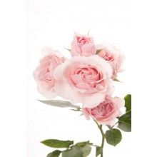Light Pink Spray Roses - Pink Majolica