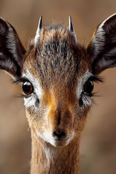 Closeup Portrait of a Antelope · Free Stock Photo is part of Animals beautiful One of many great free stock photos from Pexels This photo is about wild, wild animal, wildlife - Cute Baby Animals, Animals And Pets, Funny Animals, Wild Animals, Cute Animal Photos, Animal Pictures, Wildlife Photography, Animal Photography, Photography Portraits