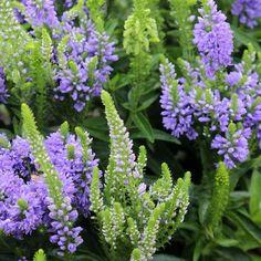 Veronica, Spring, Different Colors, Garden, Plants, Baby, Cute, Flowers, Garten