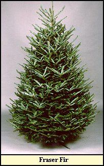 Fraser fir....chart telling which trees last longest, smell best...