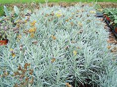 """plante curry """"helichrysum italicum serotinum"""" déjà planté / macif palmier"""