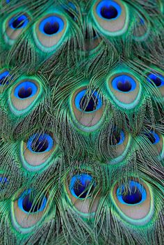 Peacock Feathers: Plumage-detail of a friendly peacock.- Flickr - Photo Sharing!