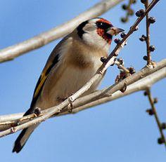 GUÍA DE AVES:  Aves de España por especie.