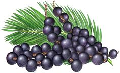 Fruit illustration of three strands of acai berries with a palm branch.