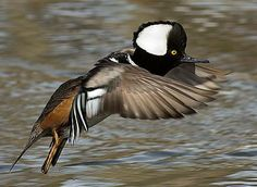 Hooded Merganser male Hunting Stuff, Duck Hunting, Pretty Birds, Love Birds, Duck Species, Duck Pictures, Waterfowl Hunting, Duck Decoys, Adorable Babies