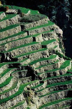 Oman. Terraces of onion and garlic on canyon walls at Al Jabal al Akhdar