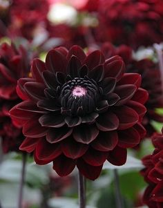 Telegraph Gardenshop: Top 10 Dahlias Dahlia 'Karma Choc' THIS one is going into my garden this year and I am so excited! The post Telegraph Gardenshop: Top 10 Dahlias appeared first on Ideas Flowers. Dark Flowers, Beautiful Flowers, Dahlia Flowers, Gothic Flowers, Dahlia Bouquet, Peony, Gothic Garden, Black Dahlia, Flower Power