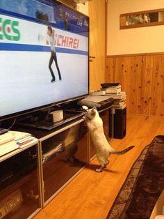 猫がテレビに釘付け!羽生結弦は猫をも魅了する!? - NAVER まとめ