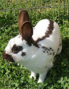 LOVE English spots!! Chocolate English Spot Funny Bunnies, Cute Bunny, English Spot Rabbit, Hunny Bun, Animals Beautiful, Cute Animals, Bunny Pics, Bunny Hutch, Indoor Rabbit