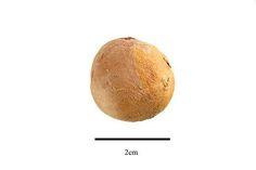 http://www.ars-grin.gov/npgs/images/sbml/Cola_acuminata_seed.jpg