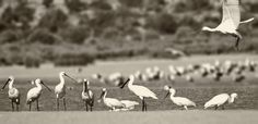 Mark Photography 2017 posted a photo:  Colhereiro / Eurasian Spoonbill - Platalea Leucorodia  I dont know if its official but interesting reading:  Do You Know What a Flock of Spoonbills is Called?  www.rspb.org.uk/community/placestovisit/bemptoncliffs/b/b...  Location: Bird Watching - Wetland Observation Post - Lagoa dos Salgados - - Pera - Faro - Algarve - Portugal - Pt - Europe - EU  Photoshop +Nik Collection Filters  ********* Thanks for all groups invitations *********  Please do not…