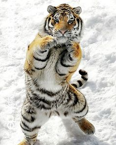Funny animals of the week - 21 March 2014 pics), funny animal pictures, standing tiger Animals And Pets, Baby Animals, Funny Animals, Cute Animals, Wild Animals, Beautiful Cats, Animals Beautiful, Big Cats, Cats And Kittens