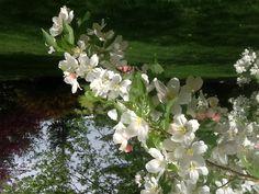 Our flowering crab apple tree.