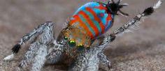 ¡Descubren dos coloridas arañas!
