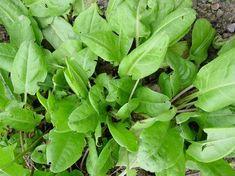 macris Edible Wild Plants, Permaculture Design, Wild Edibles, Private Garden, Garden Planning, Wild Flowers, Spinach, Organic, Cancer