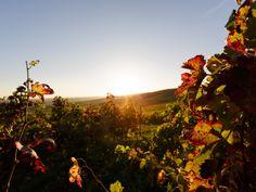 Herbstsonne im Weinberg von Rheinhessen  ©M. Rockstroh-Kruft, www.rheinhessen-foto.de