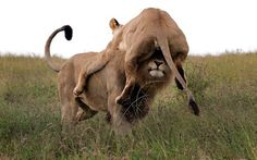 An angry lioness launches herself at a male - but ends up sitting on his head, looking like a lion hat. She pounced at the male when he tried to discipline her cubs, but misjudged the distance. Park ranger Jacques Matthysen photographed the moment at a game reserve in South Africa.  Picture: JACQUES MATTHYSEN / CATERS NEWS