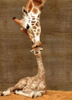 These giraffes = cute