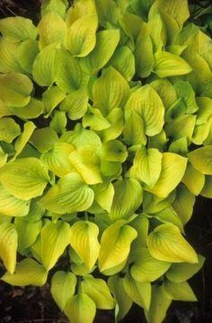 Hosta 'Banana Puddin'|Juniper Level Botanic Gdn, NC|