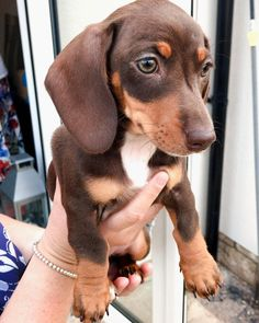 Dachshund Puppies, Dachshund Love, Corgi Dog, Cute Dogs And Puppies, Dog Cat, Cutest Dogs, Doggies, Unique Dog Breeds, Cute Dogs Breeds