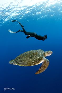 Diving with turtles (a green turtle can stay submerged for up to 5 hours...its heart rate slowing down to 1 beat per minute).
