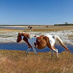 Chincoteague Island: Wild Horses - Explore Virginia's Eastern Shore - Coastal Living