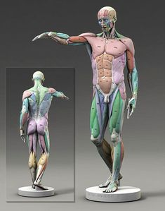anatomy for artists Human Anatomy Drawing, Anatomy Study, Anatomy Reference, Pose Reference, Zbrush Anatomy, Anatomy Models, Anatomy For Artists, Muscle Anatomy, Body Anatomy