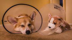 Misery loves company, corgi and fluffy friend