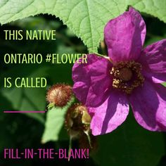 #FlowerFriday? #Fillintheblank Friday for #nature-lovers. This native #Ontario #flower is called _________. Comment here or reply on #Twitter you know what to do for the Fill-in-the-blank #Game :) #purple #petals #flowers #FlowerMagic #flowerlover #flowery #bloom #instaflowers #flowersofinstagram #blooming #colours #flowerslovers #floweroftheday #flowercolors #pinteresting?