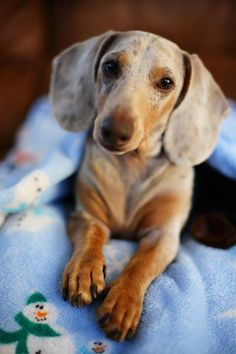 All doxies have my heart, but senior doxies steal my heart!  So, so sweet!
