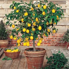 in Pot Meyer Dwarf Lemon Tree (Potted) at Lowe's. Meyer lemon can reach a height of 6 to 10 Ft. when planted outdoors; as a potted plant, though, the tree size can be kept small, generally about 4 to 6 Lemon Tree Potted, Indoor Lemon Tree, Lemon Plant, Citrus Trees, Potted Trees, Tree Planters, Dwarf Fruit Trees, Fruit Plants, Container Gardening