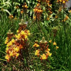 Bulbine frutescens 'Hallmark' (Orange Stalked Bulbine) spring -summer blooms often to winter, 1- 2' H x 4-5' W
