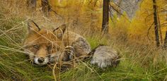 Red fox crouching in tall grass: Pictures We Love: In Awe of Creatures Great and Small