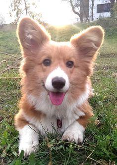 Eddie a very cute fluffy corgi. Z
