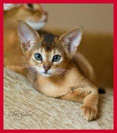 Abyssinian- Awwwwe... Looks like my Duffy as a little kitten!