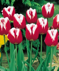Triumph Tulip Leen van der Mark--Named for Jan Ohms' Uncle Leen, a famous Dutch flower bulb hybridizer for Konijnenburg & Mark~the family nursery, this huge, prized tulip is vivid cardinal-red with yellow edges which mature to brilliant white.